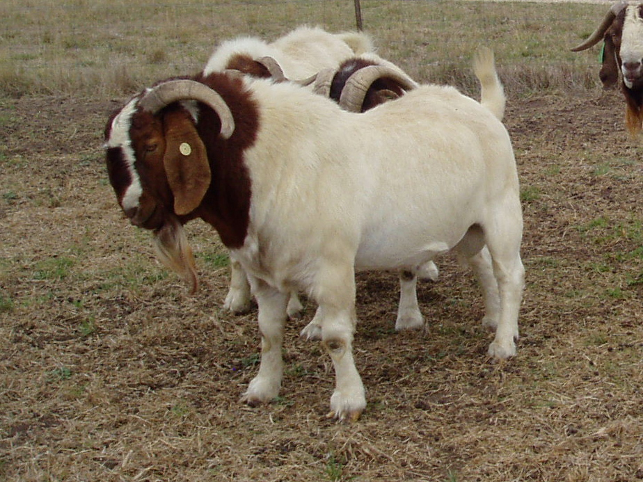Boer Goats For Sale Boer Goats Information Boer Goat
