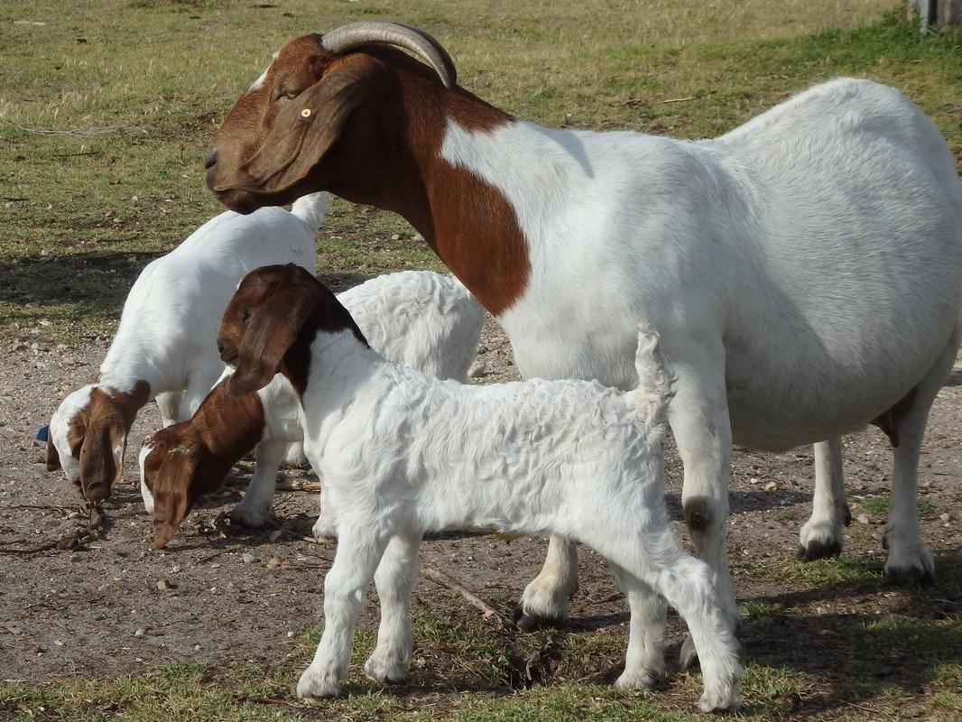 Boer goats - Information, Boer goat exports to Nepal, husbandry