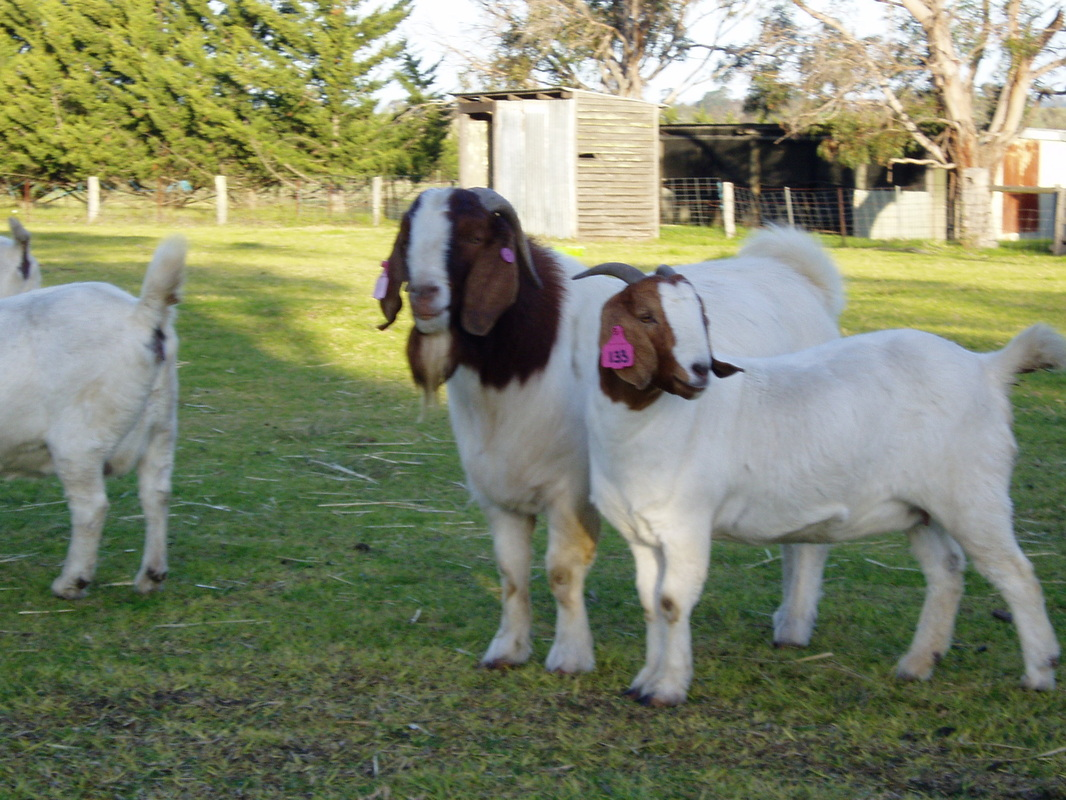 More stud information - Boer goats - Information, Boer ... - photo#40